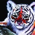 Geboorte tijger